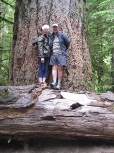 800 year old tree in cedar forest of Vancouver Island.